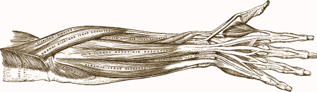 drawing of arm muscles (Gray's Anatomy)